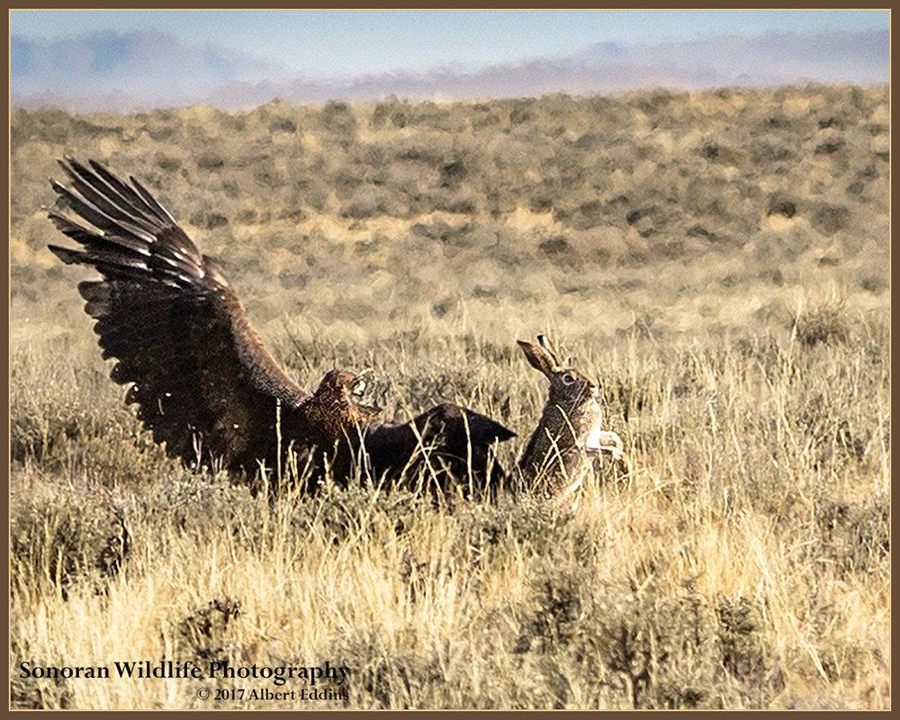 Golden Eagle Missed - Farson, Wyoming