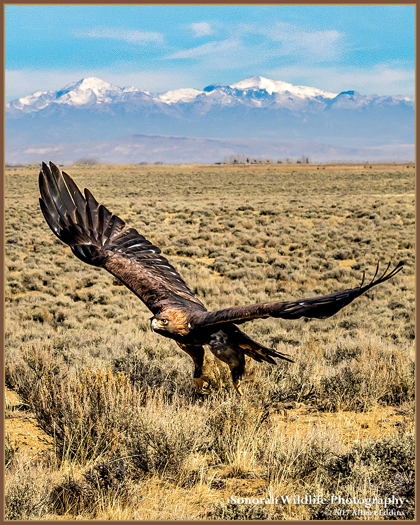 Golden Eagle and Wind River Mountains - Wyoming