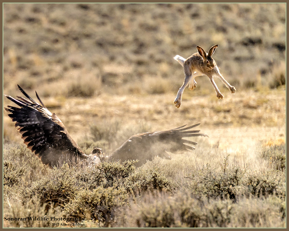 Golden Eagle and Lucky Rabbits Feet - Wyoming