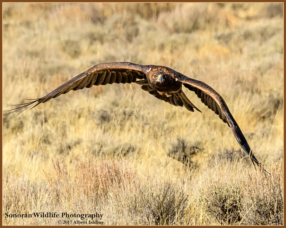 Golden Eagle on the Hunt - Farson, Wyoming
