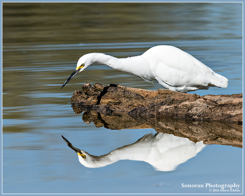 Snowy-Egret-Refection_Web_ASE8390.jpg