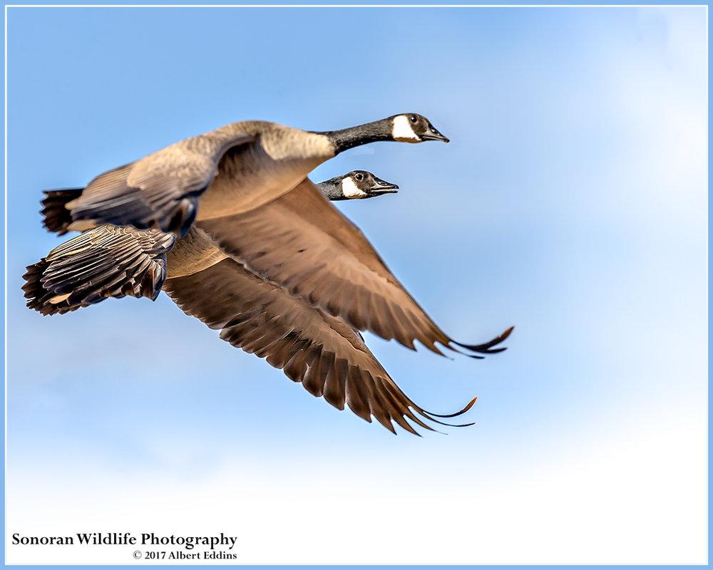 Canadian-Geese_Web_ASE5019_11-17-17.jpg
