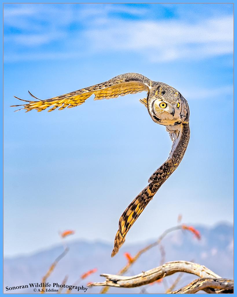 Great Horned Owl - Arizona