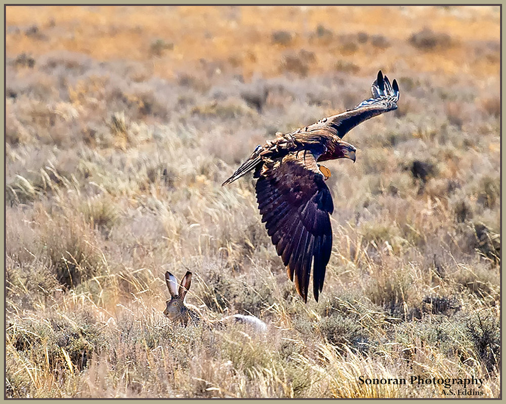 Golden Eagle after Jackrabbit - Wyoming