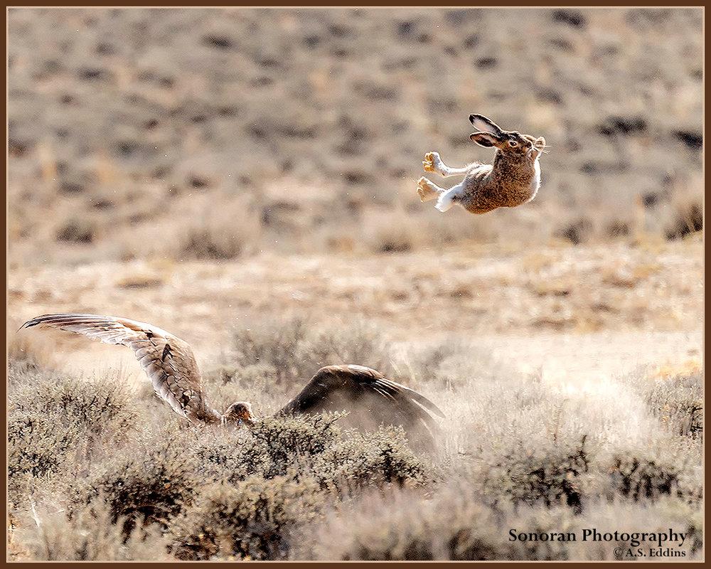 Golden Eagle - MISSED ME!  -  Wyoming