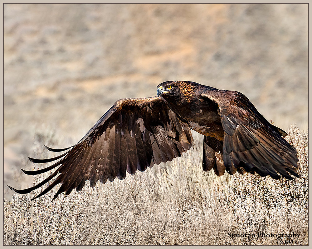 Golden Eagle - Wyoming