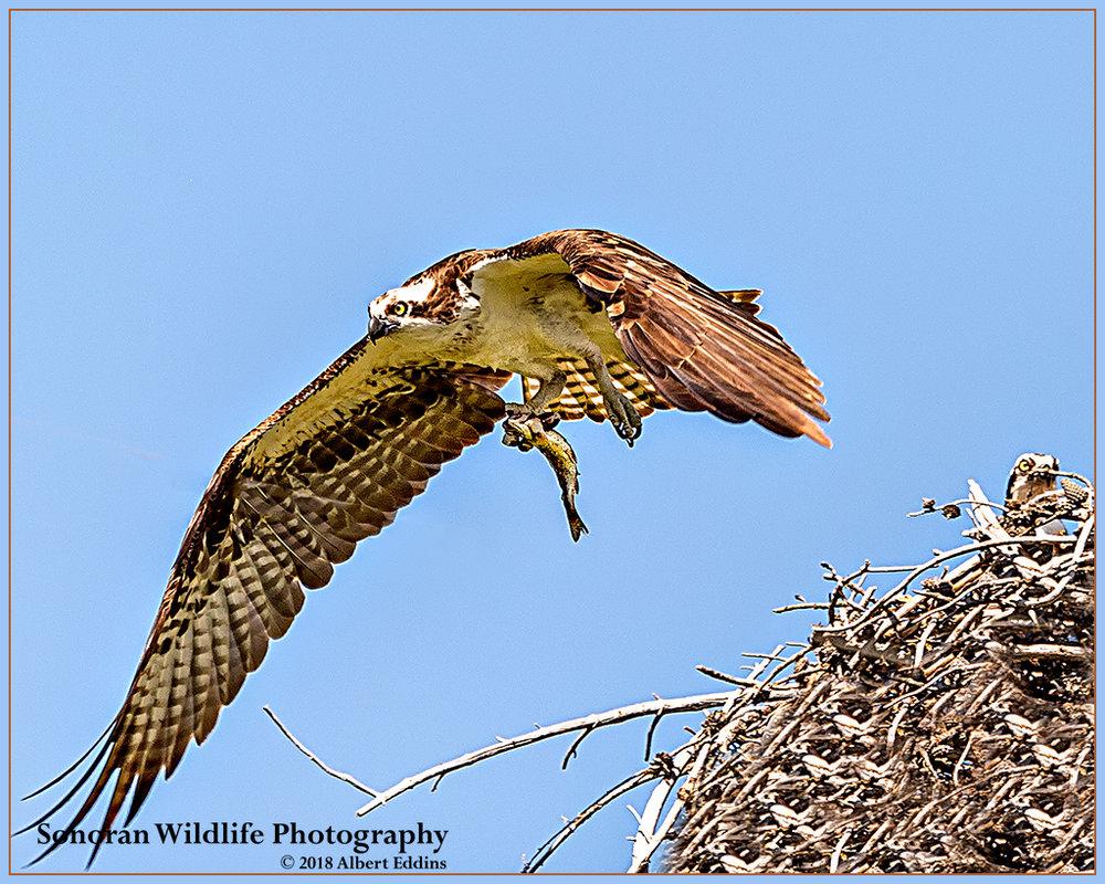 Osprey_Web_ASE9616.jpg