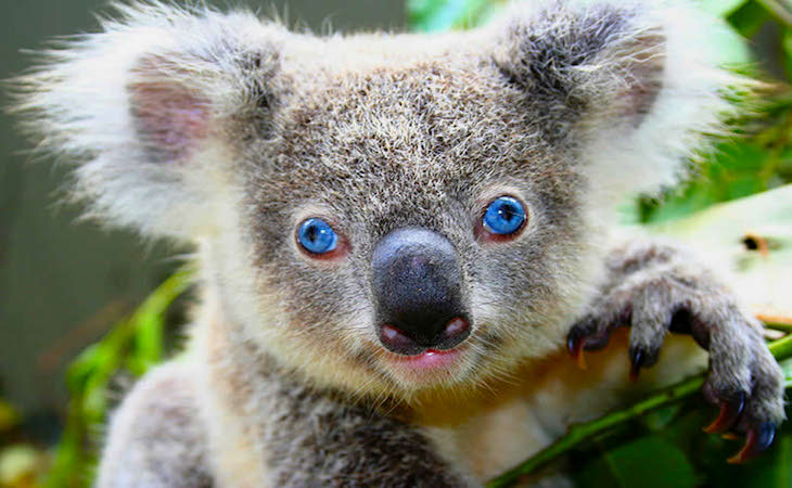 Australia-wildlife-blue-eyed-koala.jpg