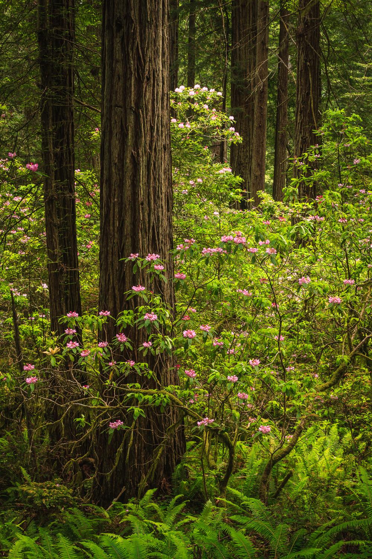 redwoodsandrhodos.jpg