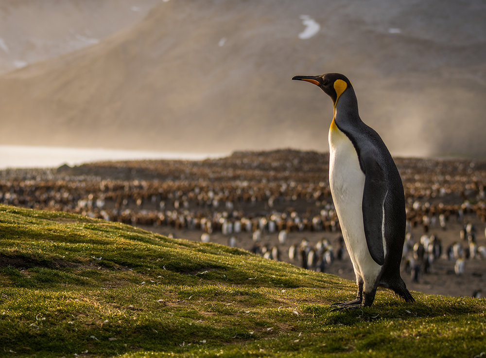 King Penguin at Sunrise