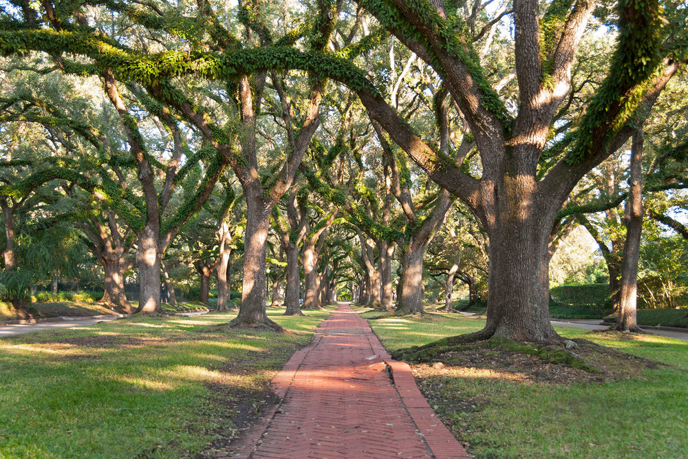 Oaks in the North Boulevard esplanade, Broadacres Historic District /  photo by Jim Parsons