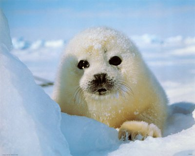 A seal pup