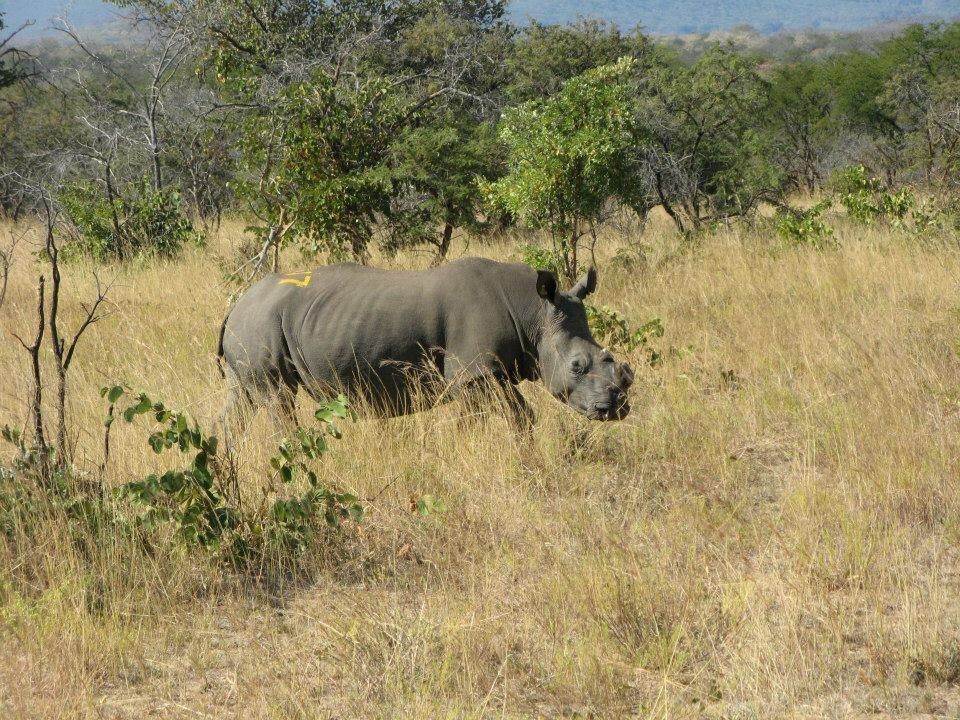 Dehorned rhino in an attempt to stop poaching.