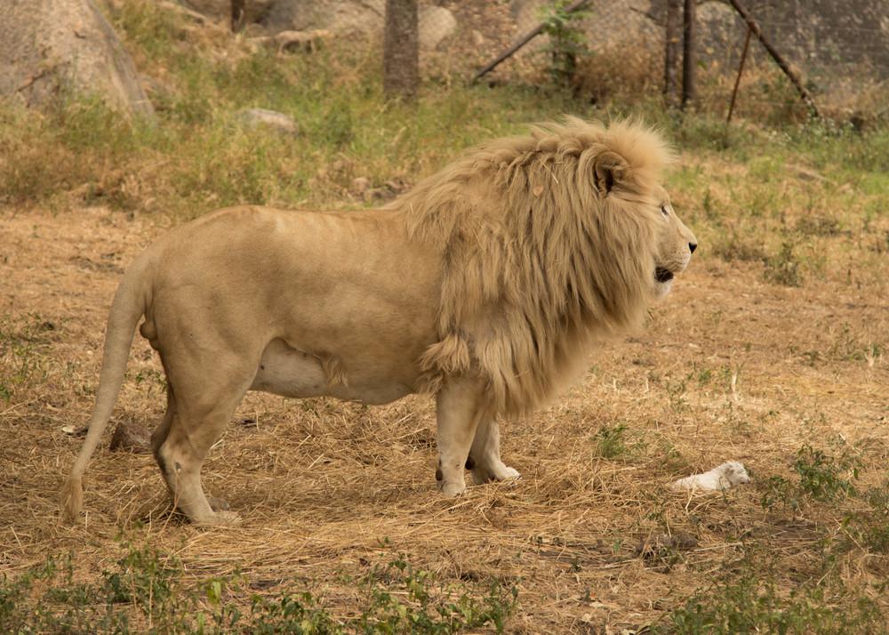 Leo and cub