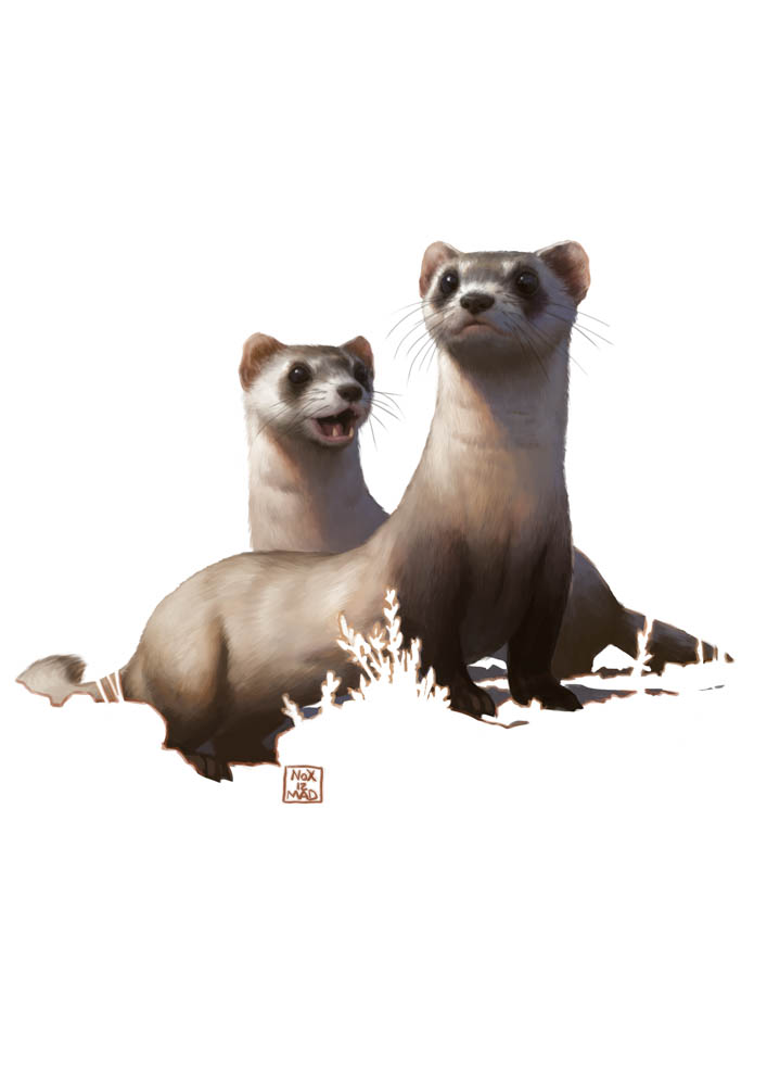 """Black-footed Ferret"" by  Bruno Gore  (digital)"