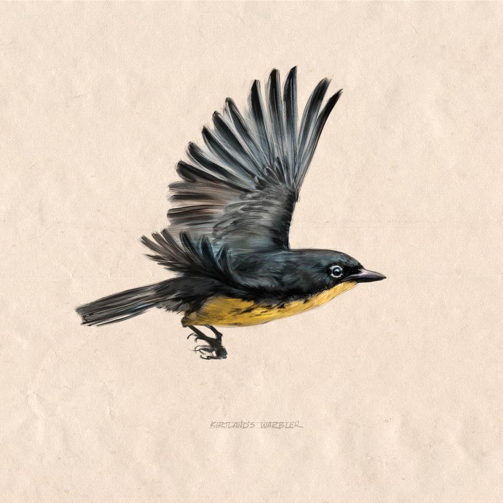 """""""Kirtland's Warbler Study"""" by  Dan Milligan  (digital)"""