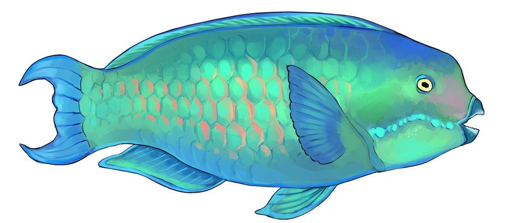 steephead+parrotfish.jpg
