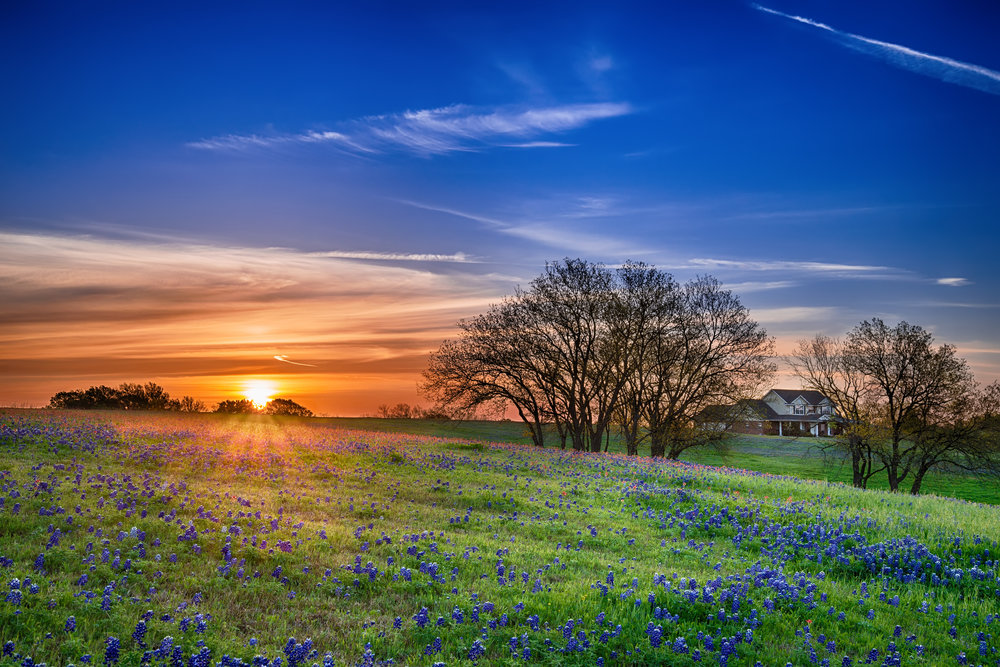 Texas bluebonnet wildflower spring field at sunrise