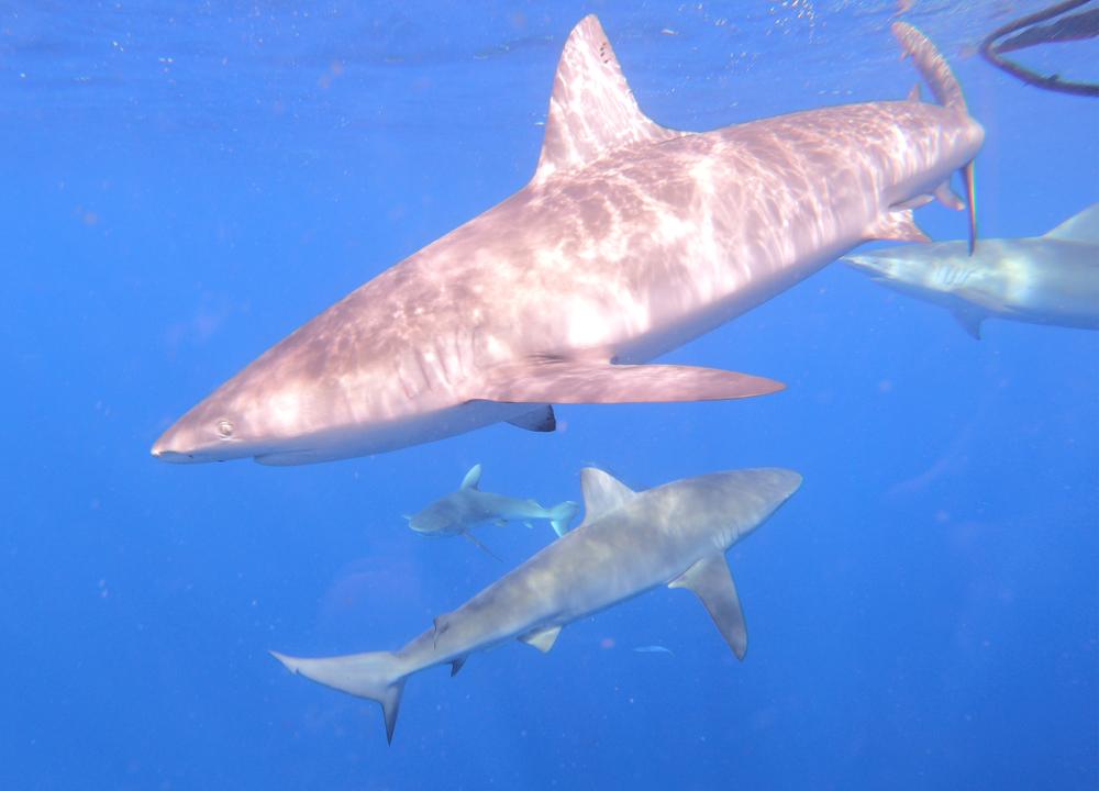 banner_shark title.png