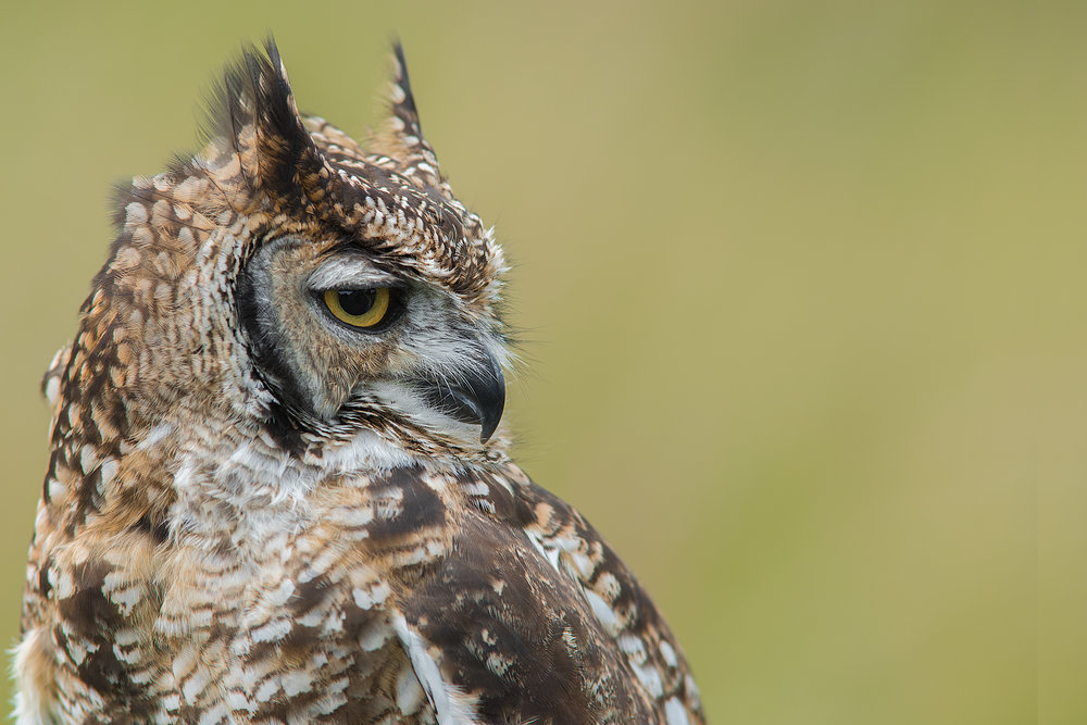 A close up head profile portrait of a spotted eagle owl facing right and set to the left of the photograph