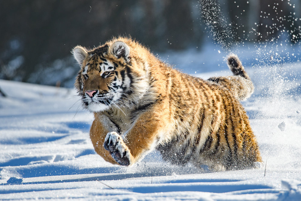 Siberian Tiger in the snow (Panthera tigris altaica)