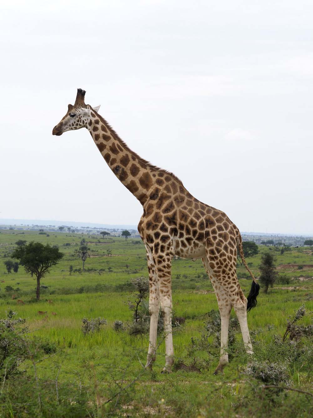 Rothchilds giraffe, Giraffa camelopardalis rothschildi