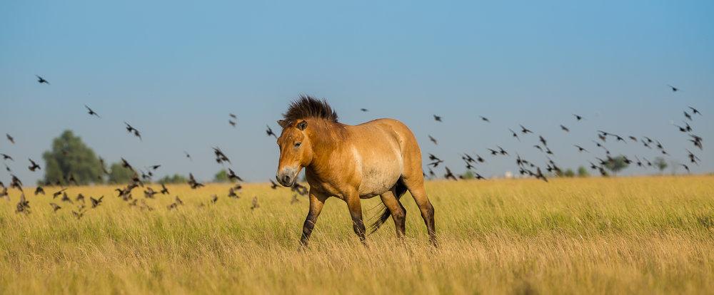 Przewalski Horse foal (Equus ferus przewalskii) on the meadow