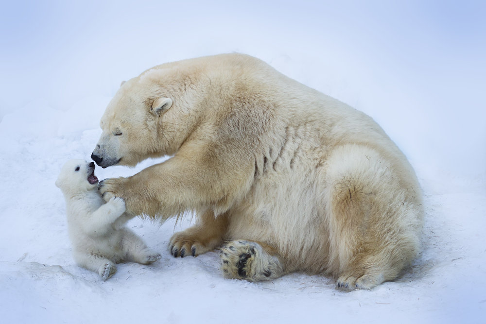 Polar bear with mom