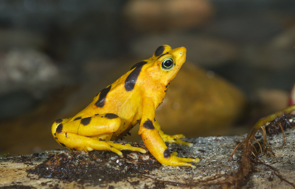 Endangered Panamanian Zetek's golden frog (Atelopus zeteki), captive (native to cloud forests of Panama, Central America).