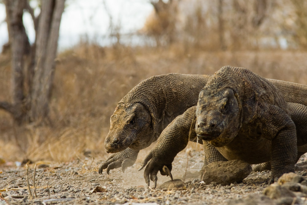 Komodo Dragons Run For Food