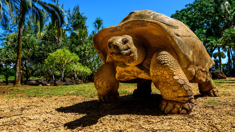 Giant tortoise endangered species walking slowly