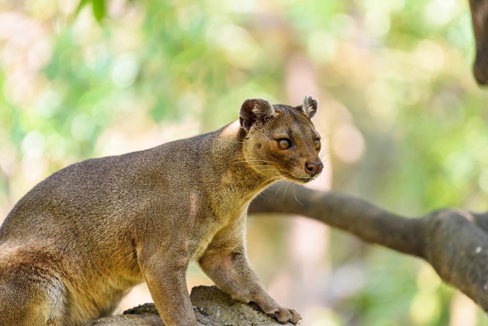 Fossa (Cryptoprocta Ferox) Cat In Madagascar