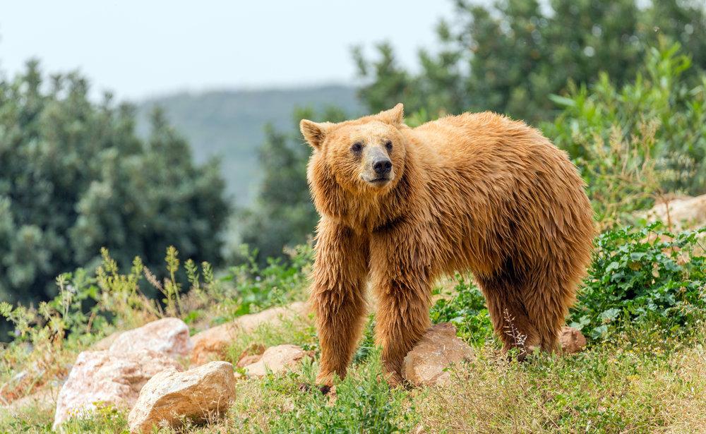 Eurasian brown bear (Ursus arctos arctos) in forest