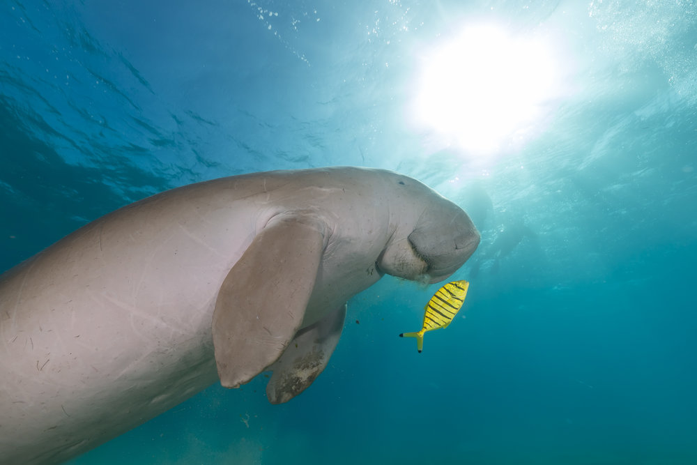 Dugong (dugong dugon) or seacow in the Red Sea.