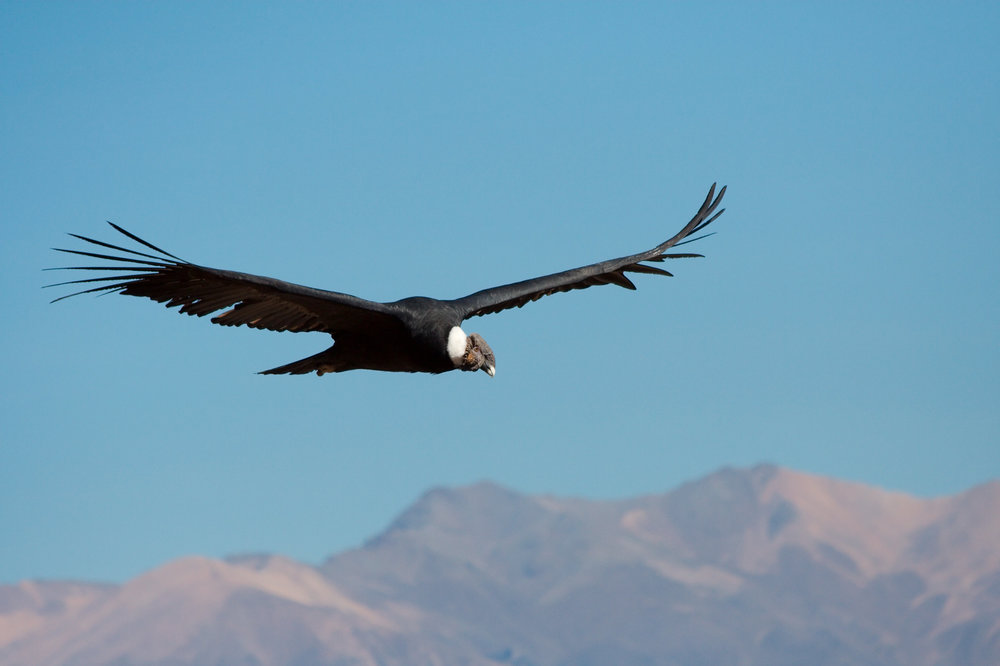 Condor passing by in Colca Canyon