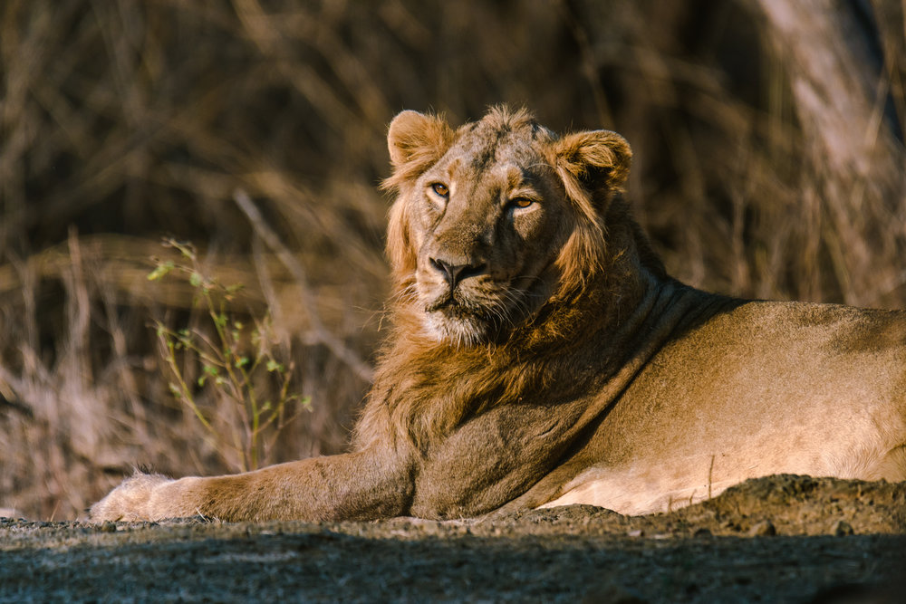 Asiatic Lion resting