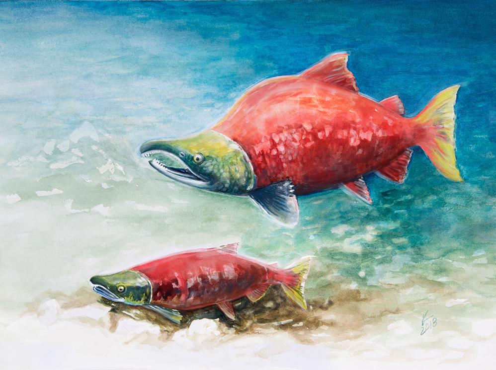 """Resting (Pacific Sockeye Salmon)"""