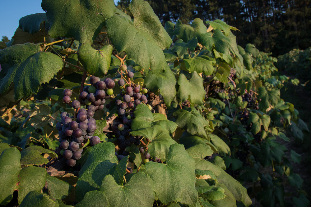 Grapevines run along the property