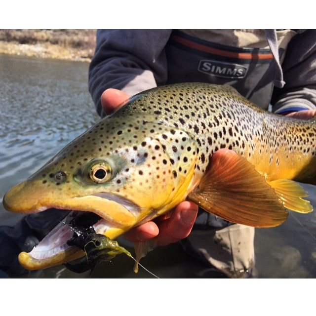 Colorado Broen Trout