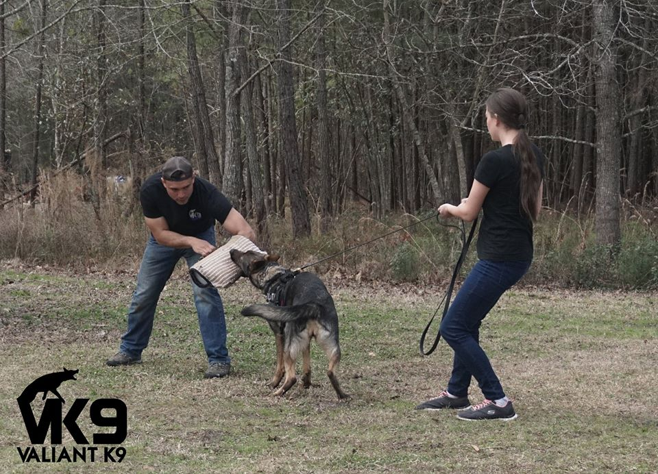 """""""Blair"""" Xe Von Schraderhaus begins protection training for IPO with Valiant k9"""