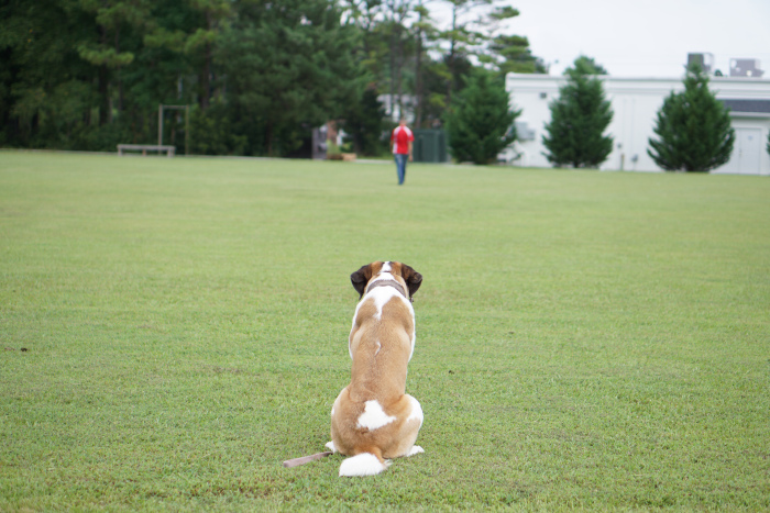 Advanced off leash obedience for pets