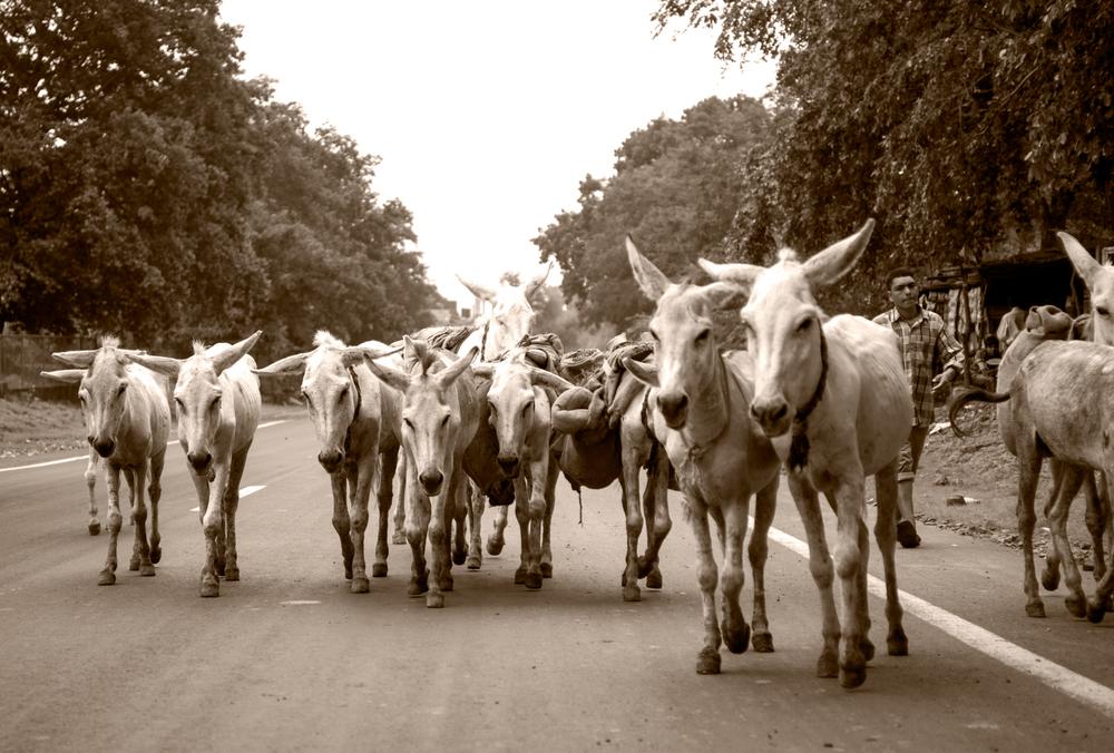 donkeys copyBW.jpg