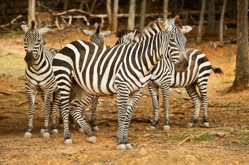 zebras2562SS copy.jpg