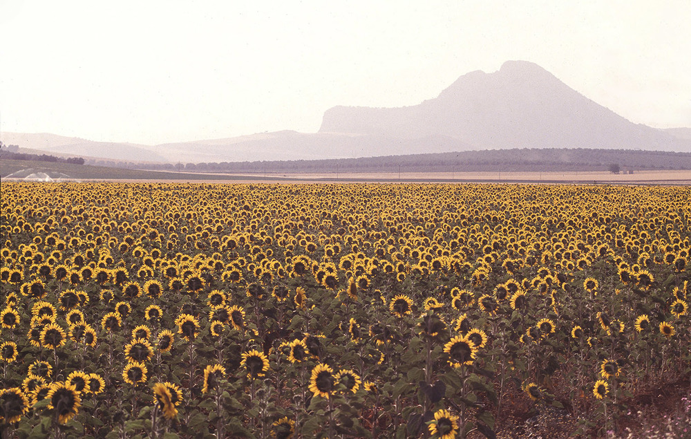 sunflower field antequera spain clean.jpg