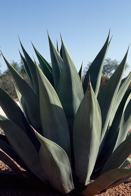 agave-arizona-copy.jpg