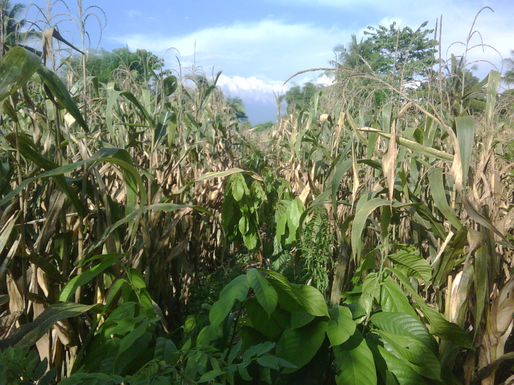 Young cocoa tree seedlings intercropped with corn to provide shade to the trees and immediate productivity for the land.