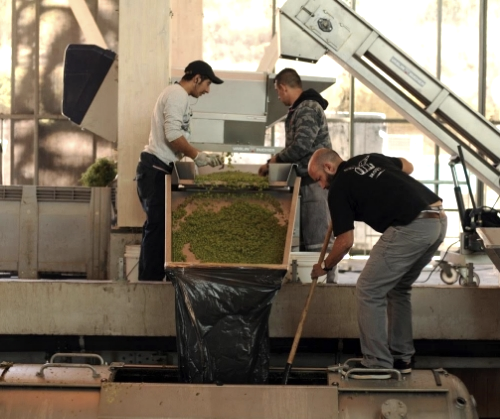 Felipe Garcia (right) of Garcia Schwaderer in Casablanca, Chile working with grape harvesters to process the new Sauvignon Blanc. Photos courtesy of Garcia Schwaderer.