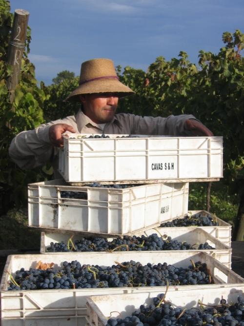 Cabernet Sauvignon harvest, Alta Cima. Photo courtesy of Alta Cima.