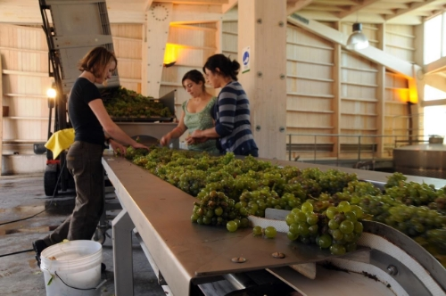 Hand-selection of Sauvignon Blanc grapes ensures quality control. Photo courtesy of Garcia Schwaderer.