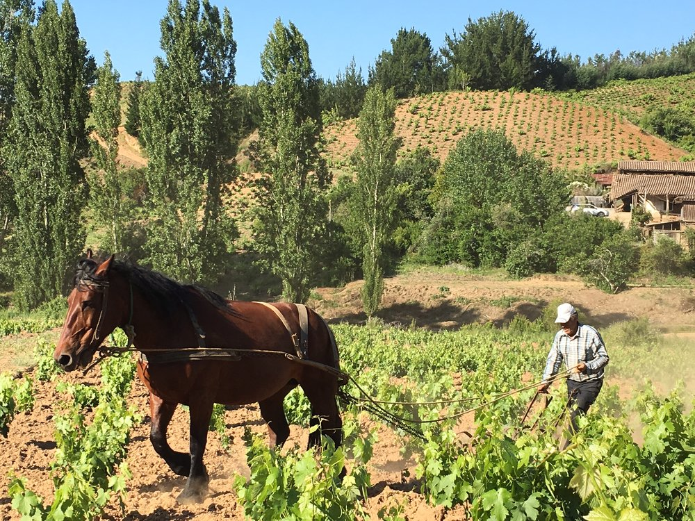 China the horse plowing between vines